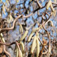 Pollenallergiker im Winter